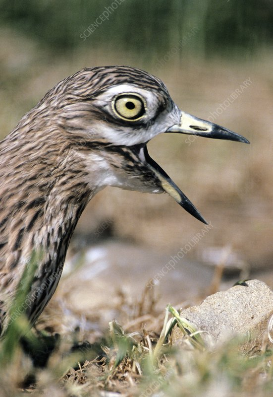 Stone curlew calling