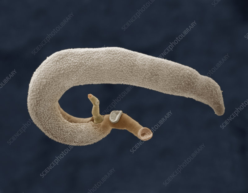 The Fluke (Schistosoma mansoni)