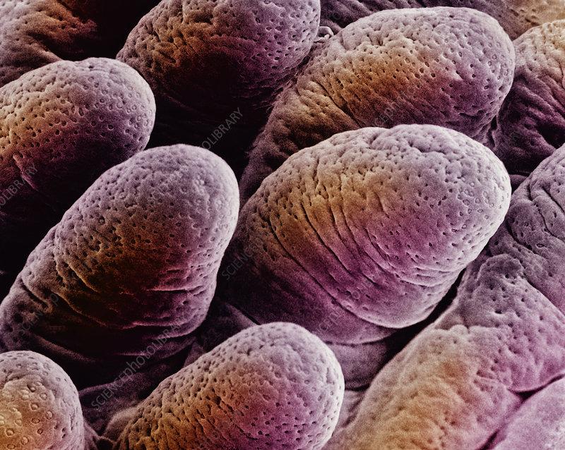 Villi in ileum of mammal intestine