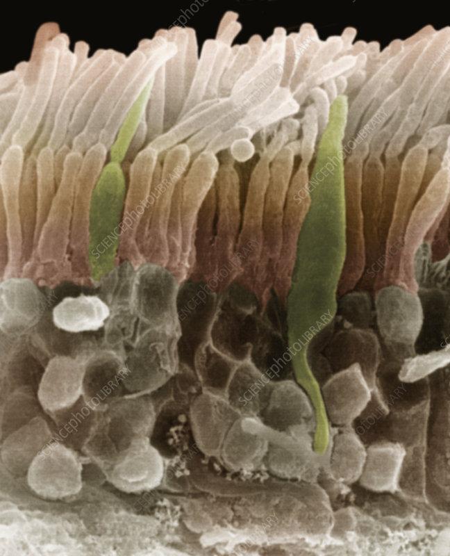 Human retina rod and cone cells