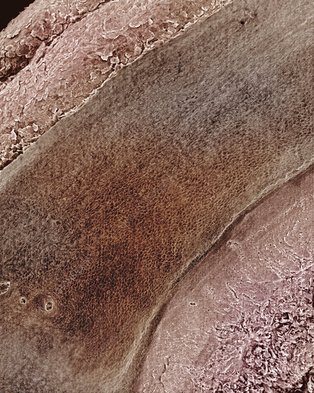 Cross-section of skin from human finger