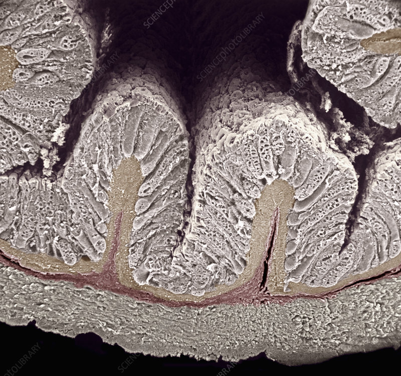 Cross-section of the mammal colon. SEM