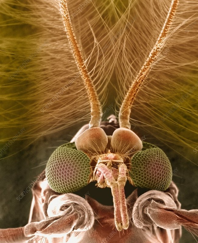 Biting Midge head SEM