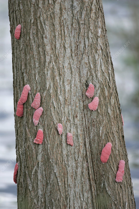 Apple Snail egg clusters on a tree trunk