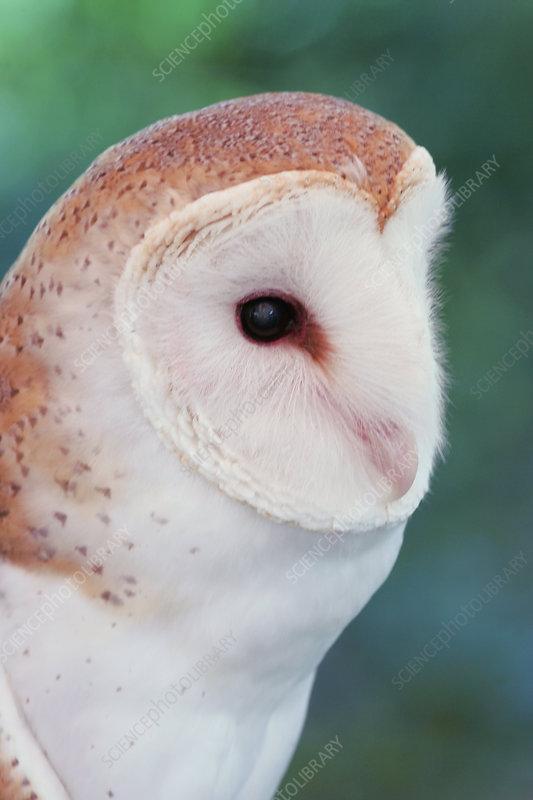 Barn Owl head ,Tyto alba, North America