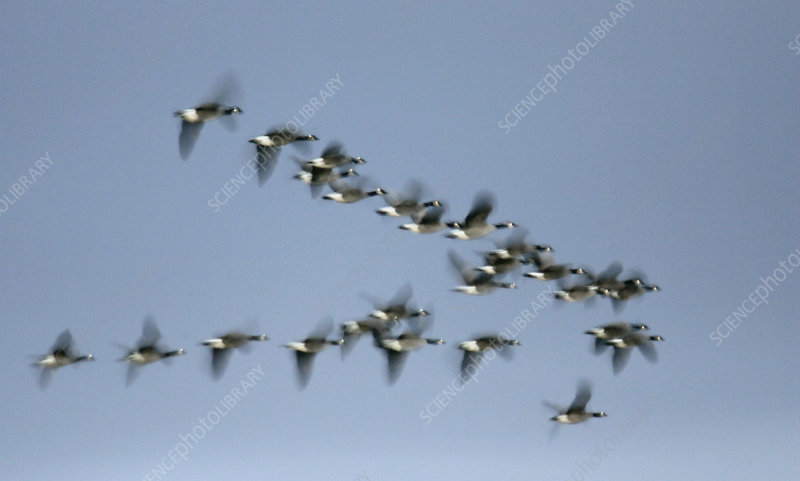 Canada Geese flying in V-formation