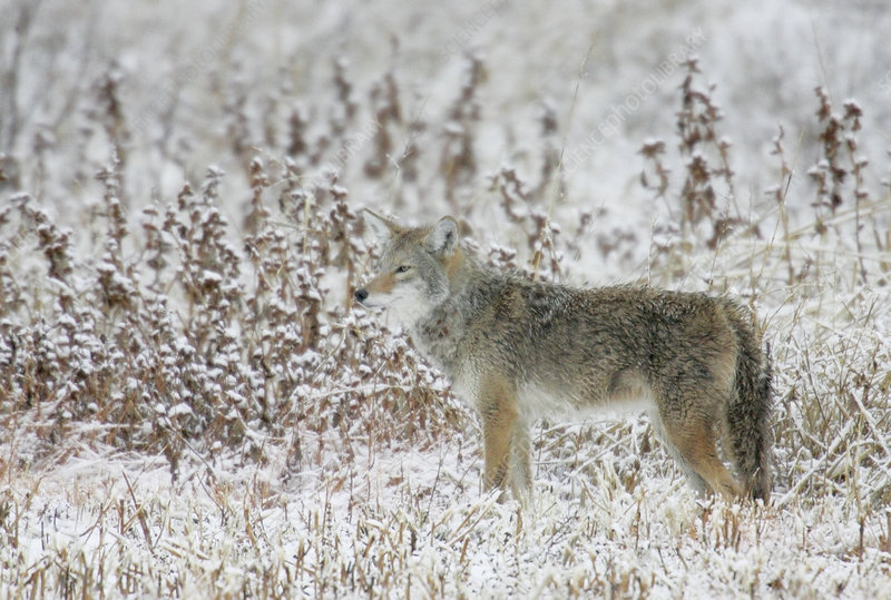 Coyote standing in a snowy field