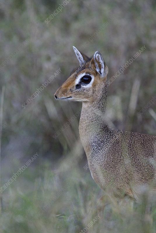 Dikdik alert and hiding in savanna