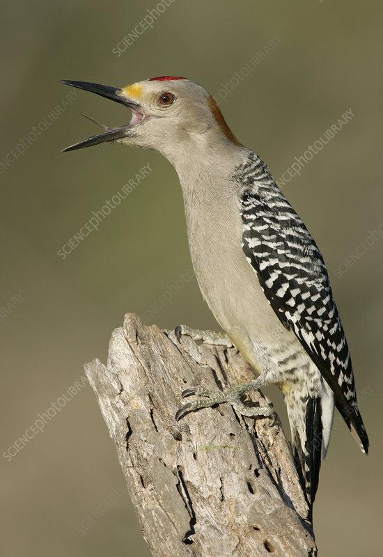 Golden-fronted Woodpecker calling