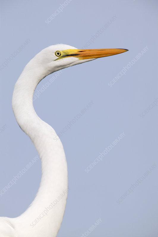 Great Egret juvenile (Ardea alba)