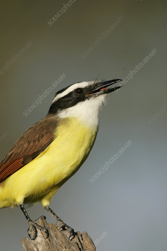 Great Kiskadee swallowing an insect