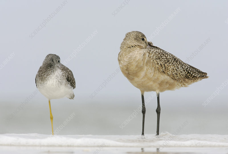 Greater Yellowlegs and Marbled Godwit