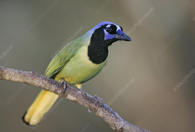 Green Jay ,Cyanocorax yncas, Texas, USA