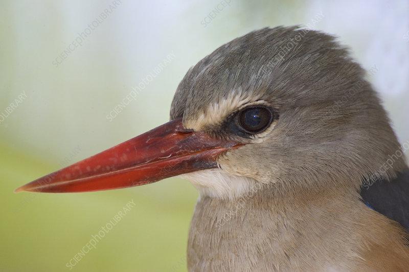 Gray-headed Kingfisher head, Kenya