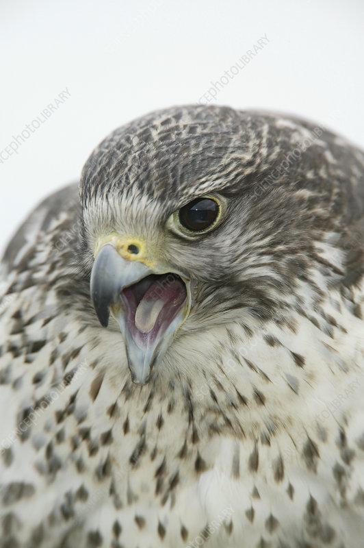 Gyrfalcon vocalizing (Falco rusticolus)