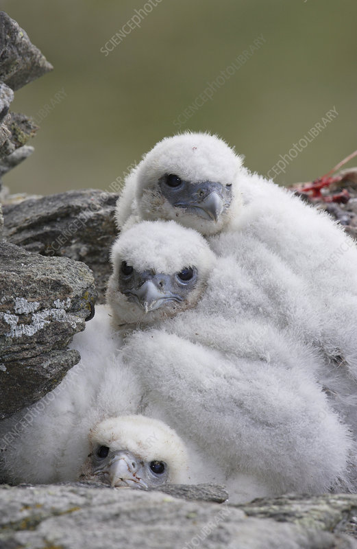 Three Gyrfalcon chicks