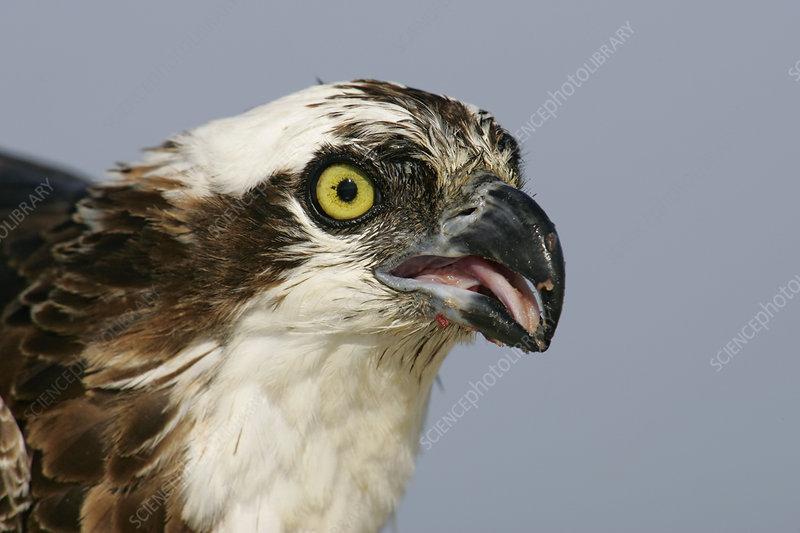 Osprey head (Pandion haliaetus)