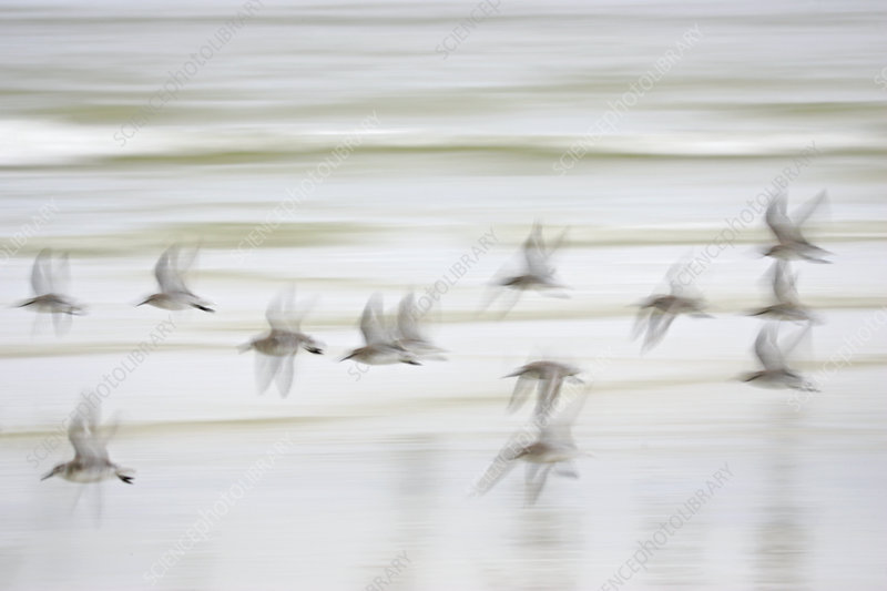 Red Knot flock in flight