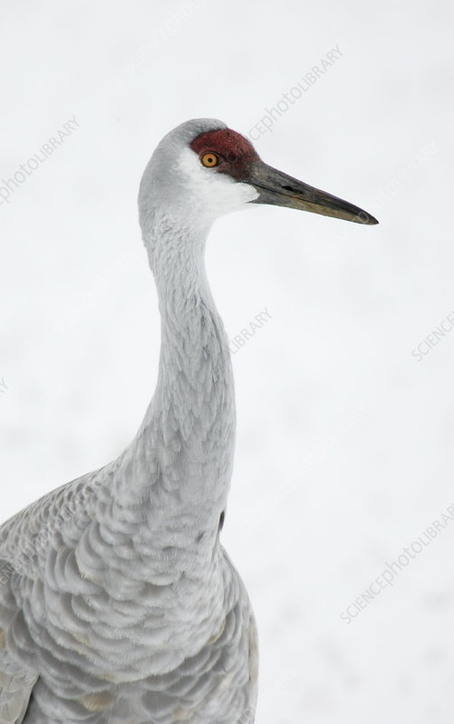 Sandhill Crane head (Grus canadensis)