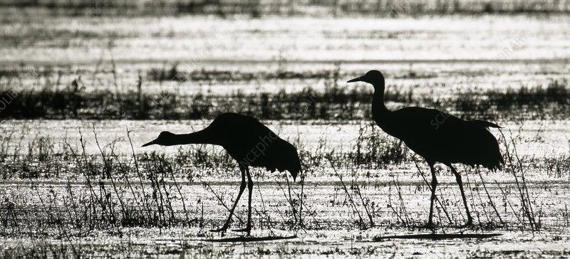 Sandhill Cranes wading in a marsh