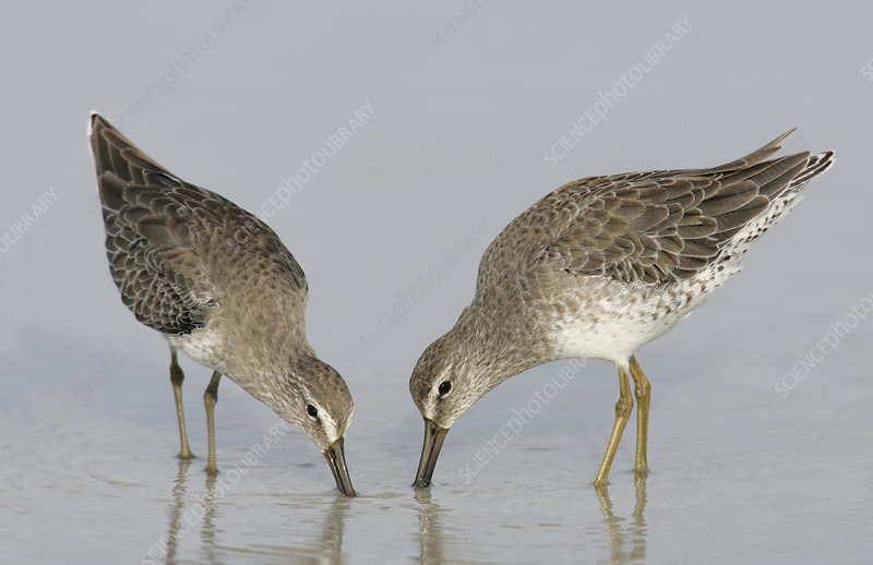 Short-billed Dowitcher winter plumage