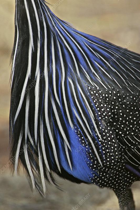 Vulturine Guinea-Fowl body feather