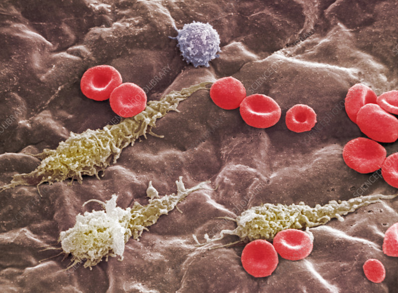 Red and white blood cells in a vein. SEM