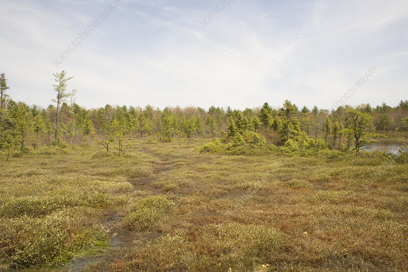 Ponemah Bog surrounded by sphagnum mat
