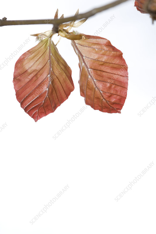 Close up of Copper Beech leaves