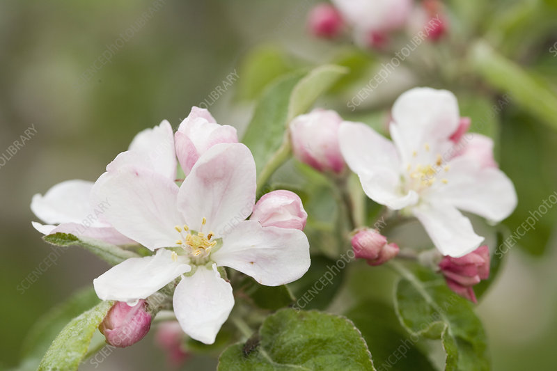 Apple Blossoms and Buds in the Spring