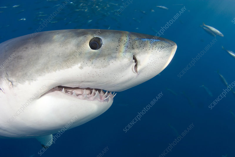 Great White Shark head - Stock Image - C006/0243 - Science
