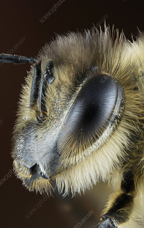 Head of a Honey Bee (Apis mellifera)
