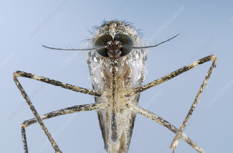 Culiseta annulata is a mosquito species
