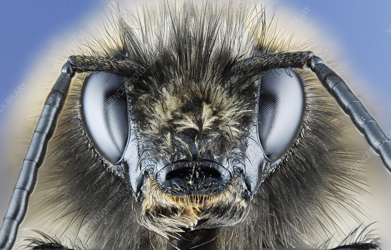 Head of a Bumblebee
