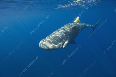 Sperm Whale with plastic waste