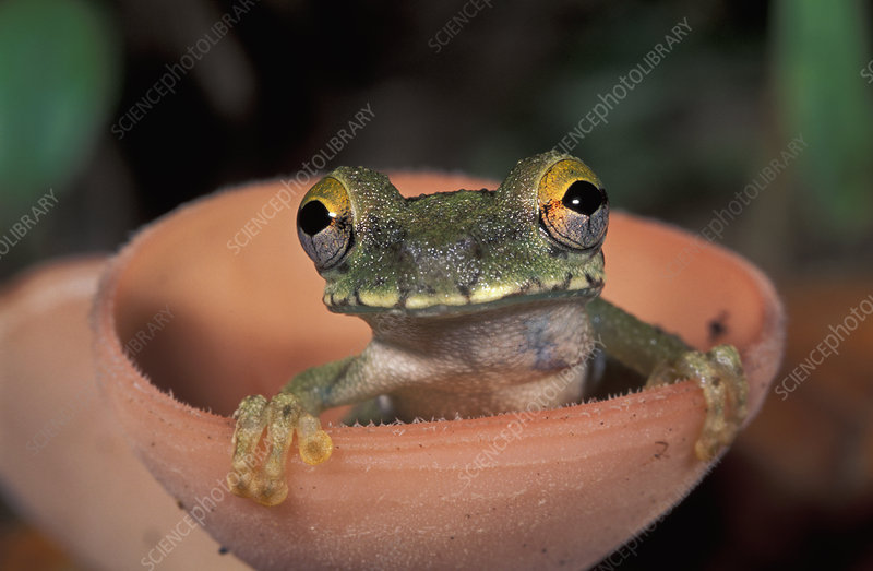 Treefrog perched in a cup mushroom