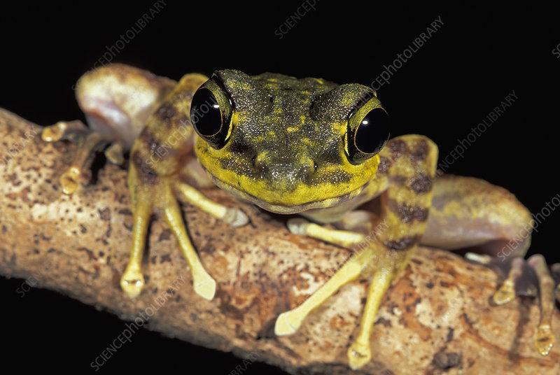 Long-legged Frog head (Amolops)