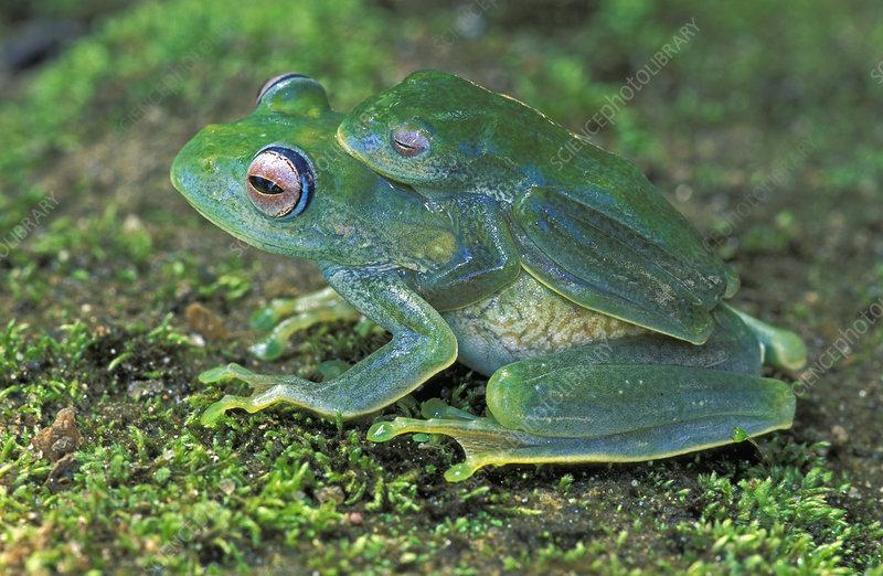 Vohiparara Bright-eyed Frog mating