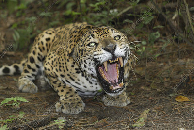Crouched and aggressive Jaguar