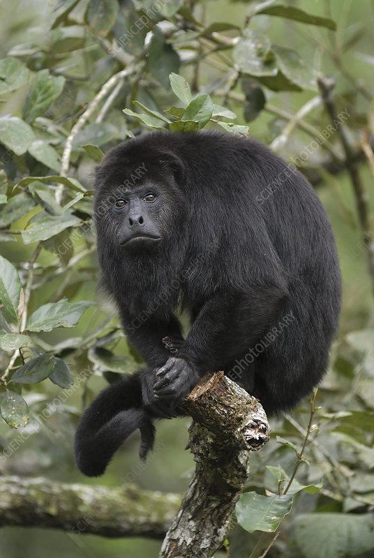Guatemalan or Black Howler Monkey