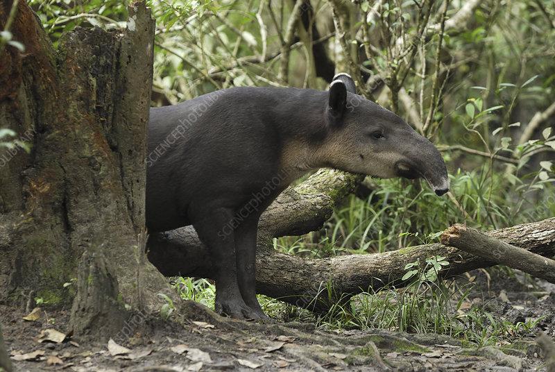 Baird's Tapir (Tapirus bairdii), Belize