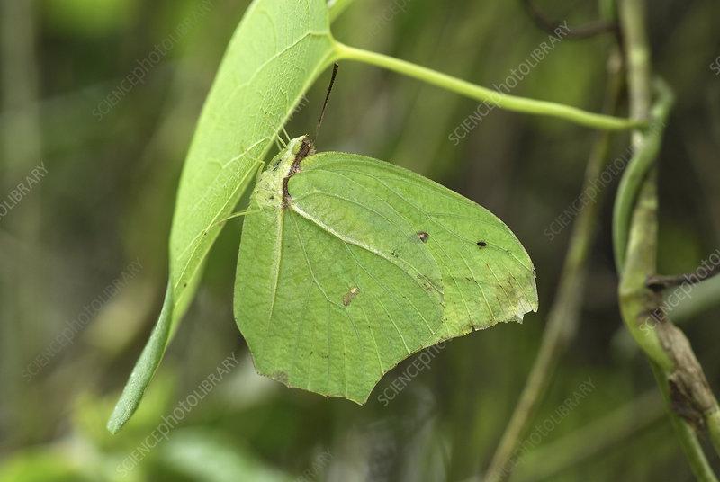 Angled-Sulphur Butterfly (Anteos)