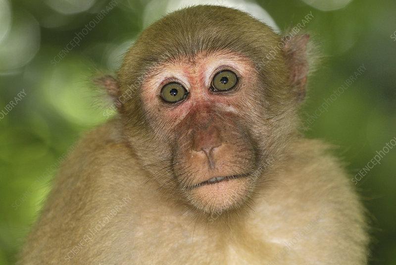 Assamese Macaque face (Macaca assamensis)