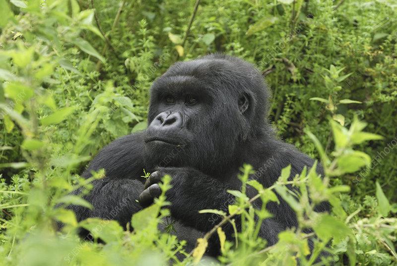 Silverback Mountain Gorilla head