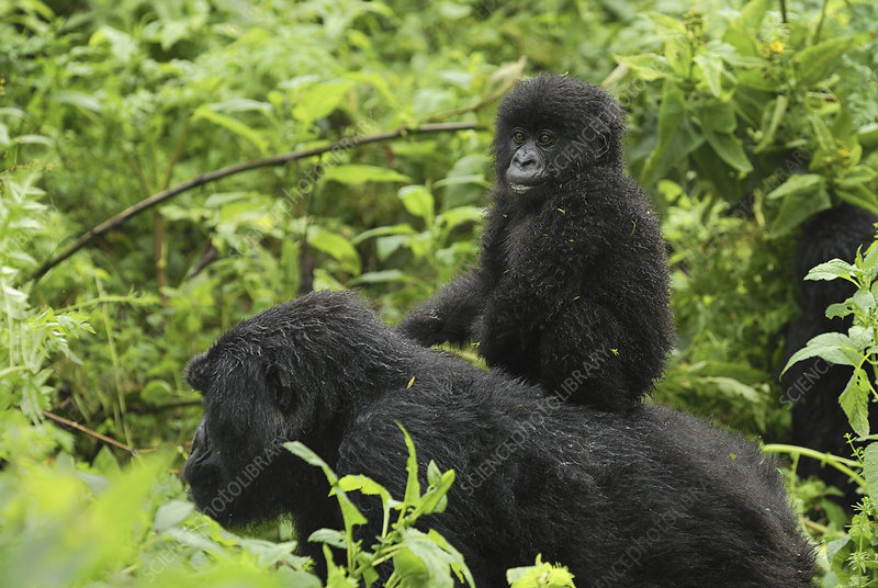 Mountain Gorilla female, young on back