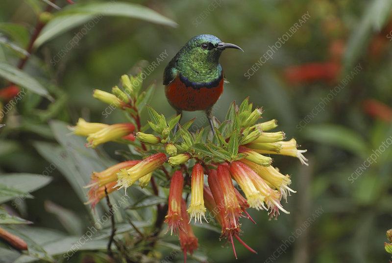 Sunbird (Nectarinia), Nyungwe, Rwanda