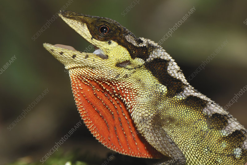 Anole Lizard head with throat display