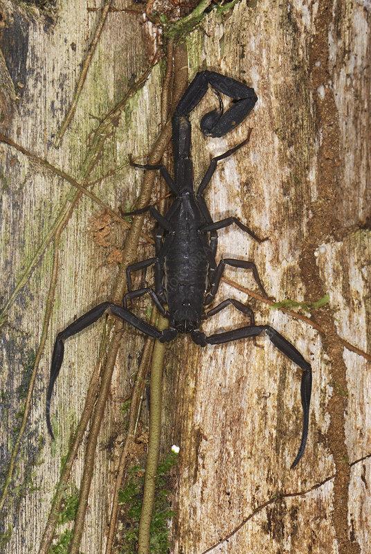 Scorpion (Tytius), Colombia