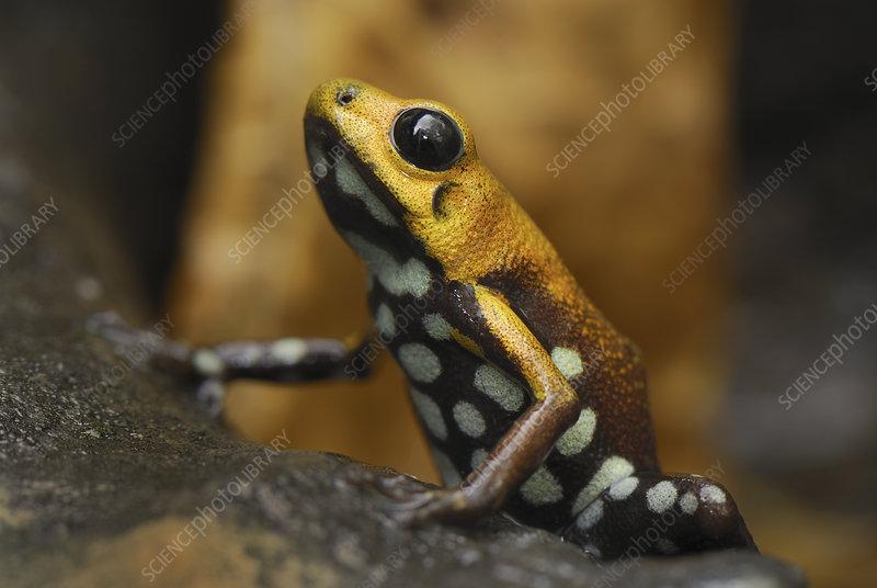 Poison Frog (Ranitomeya), Colombia