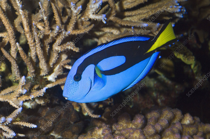 Palette Surgeonfish or Blue Tang